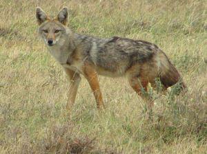 Golden_Jackal,_Serengeti